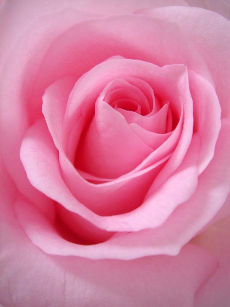 photo of a pink rose.